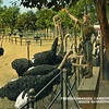 Feeding Ostriches Oranges