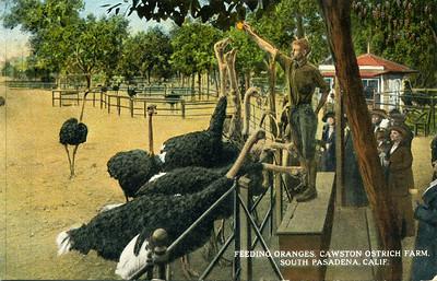 Feeding Ostriches Oranges