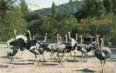 Ostrich Farm Fight