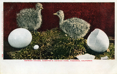 Ostrich Farm Chicks