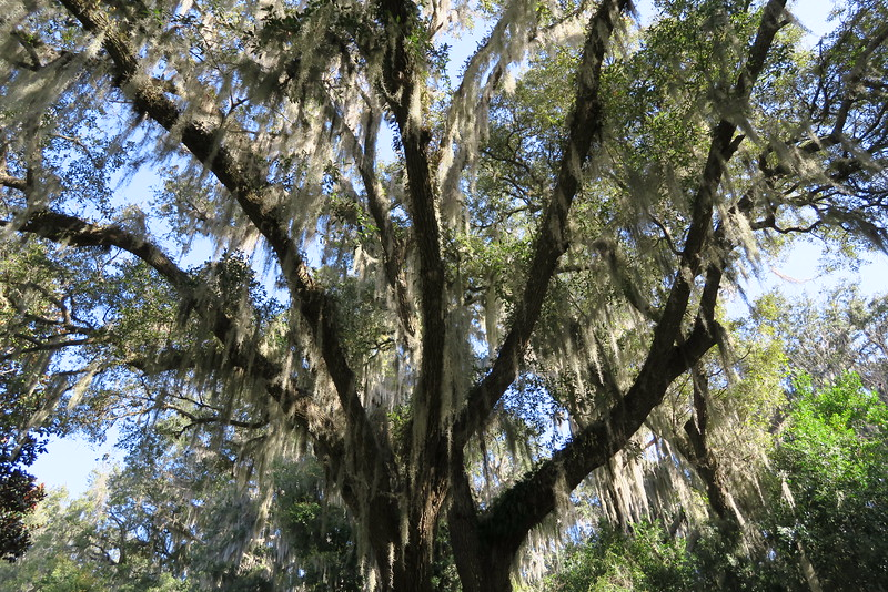It seemed almost every tree here was draped in a thick blanket of spanish moss...