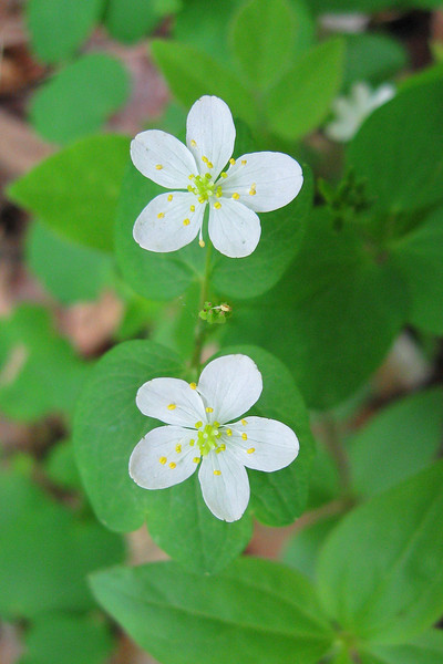 The simple, symmetric beauty of the <I>Rue-Anemone</I>...