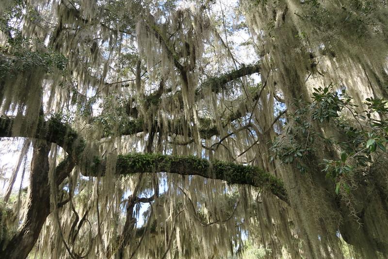Cascading Spanish Moss