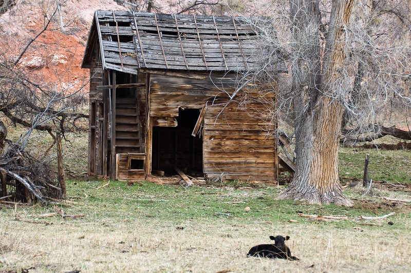 Calf on Guard (landscape)-0781