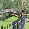 Hanover Square Fallen Oak after Hurricane Hermine Showing Original Fence Encapsulated Inside Tree Trunk 09-02-16