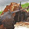 Hanover Square Fallen Oak after Hurricane Hermine Showing Original Fence Encapsulated Inside Tree Trunk 09-02-16