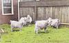 Forest Park Goats 1