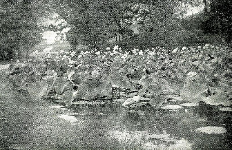 Springfield F P Lotus Pond