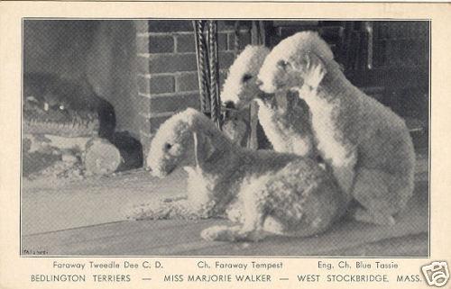 West Stockbridge Bedington Terriers