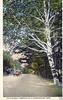 Stockbridge Birches