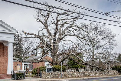 The White Oak of Basking Ridge