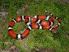 Louisiana Milksnake Lampropeltis triangulum