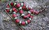 Scarlet Snake Cemophora coccinea
