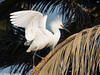 Snowy Egret Breeding Plumage in CA CLO