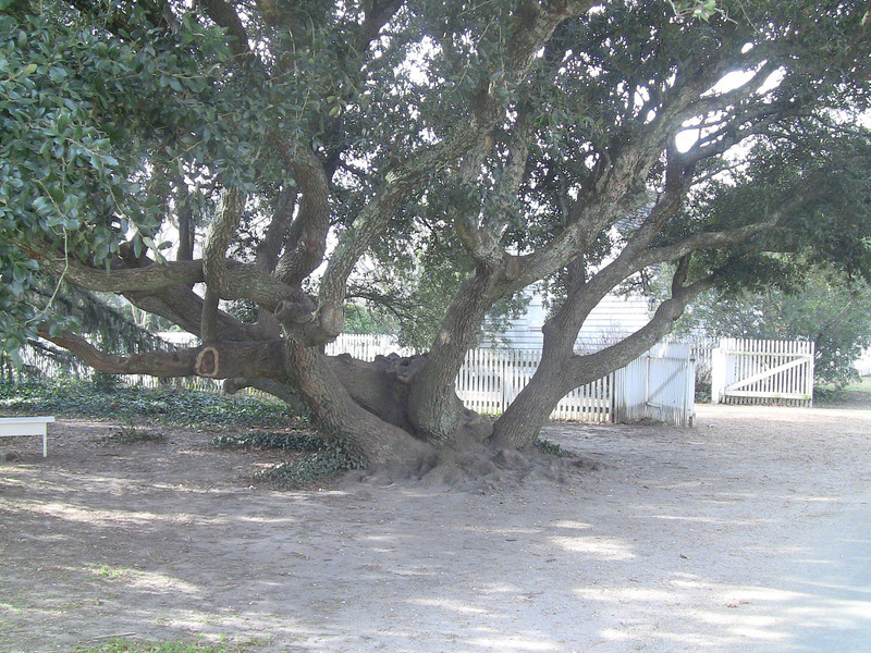 A great tree for climbing