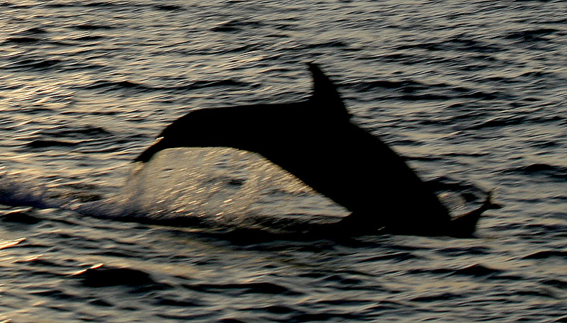 dolphin eating tuna