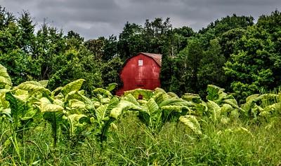 Barn amidst the tobacco