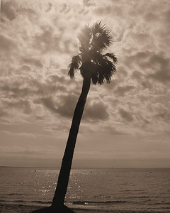 Palm at sunrise in sepia Tampa, FL  December 22, 2004