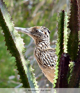 Roadrunner Phoenix, AZ  April 22, 2006
