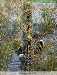 Cactus Phoenix, AZ  September 10, 2006