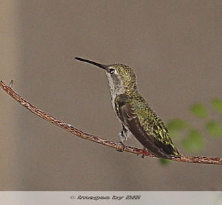 Hummingbird Phoenix, AZ  June 23, 2006