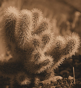 Cactus in Sepia Sedona, AZ  November 21, 2007
