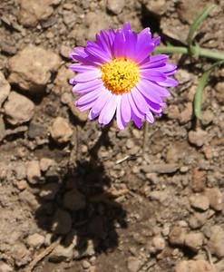 09/01/08  Purple Flower Elden Lookout Trail Flagstaff, AZ