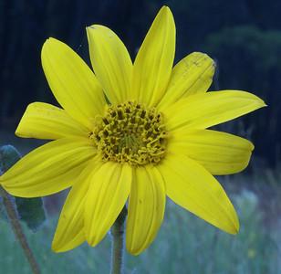 07/06/08  Yellow Flower Flagstaff, AZ