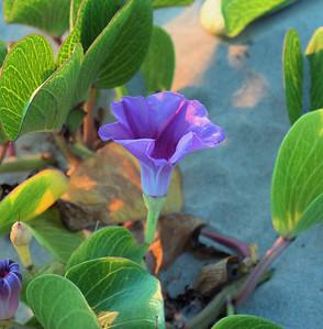 Purple Flower #2 South Padre Island, TX October 3, 2010