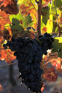Napa Grapes Casa Nuestra Winery October, 2013