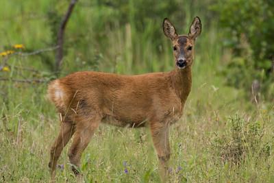 Deer - Hjorte