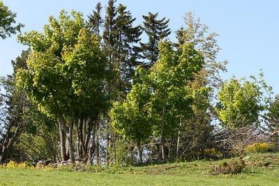 Lauskjæring av trær er viktig for å bevare kulturlandskapet.