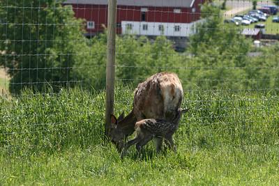 Denne kalven er kun noen timer gammel.