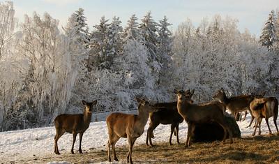 Et 240 cm høyt gjerde holder hjorten inne i hegnet