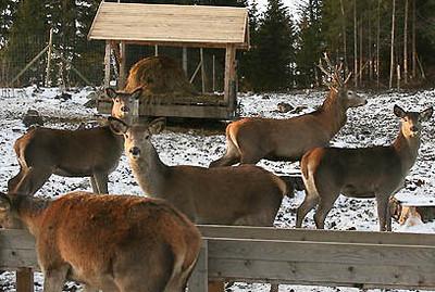 Mange bruksområder for hjort