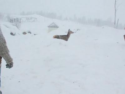 Foring av hjort med kraftfor om vinteren.
