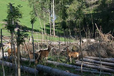 Hjort er en viktig del av driften på Farbergshagen.