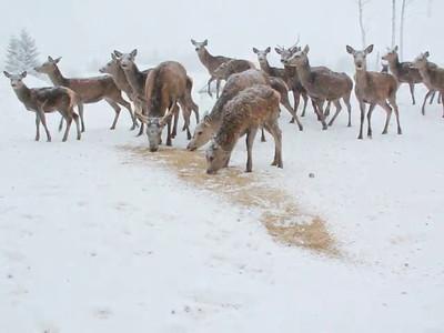 Foring av hjort med kraftfor om vinteren