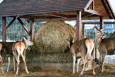 Vi har full kontroll over et komplett produksjonslinje for hjortekjøtt