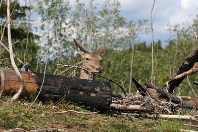 Vi har gradvis bygget opp en bærekraftig bestand av norsk kronhjort med utgangspunkt i den ville hjortebestanden