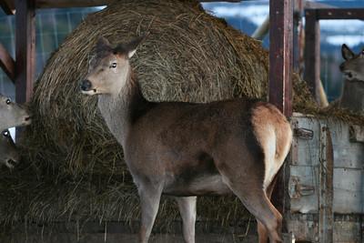 Hjort er drøvtyggere, og oppholder seg mye av dagen på foringsplassen.