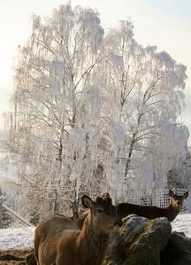 Vinteren krever spesielle hensyn for at hjorten skal ha det godt