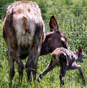 Våren er kalvingstid i hjortehegnet