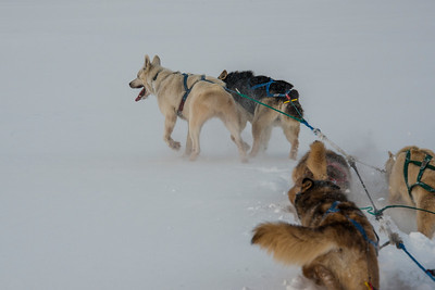 March:  Good lead dogs are worth their weight in gold.  Here Nanook (white dog) and Wilson lead the team off of Dietz Lake in a winter storm.   They knew exactly where they were going so just let them break the trail.