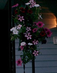 hanging petunias