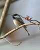 The Black Capped Chickadee