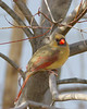 The female cardinal