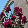 Crepe myrtle in bloom under the new paint job.  Even the bees love it.