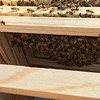 Bees busy building comb
