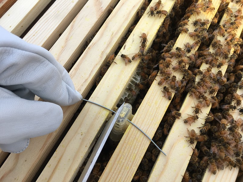 "Loosening the queen cage from adjacent frames.  Note that there is already new comb being built (or ""drawn out"" in beekeeper speak)."